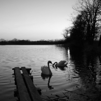Západ s labutěmi